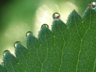 обои Капельки росы ла листике красивыми бусинками фото