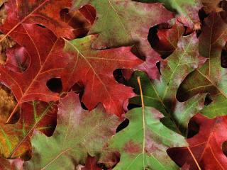 обои Зелено-красные листья дуба фото