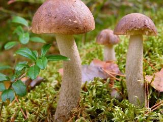 обои Во мху лесном три грибочка фото