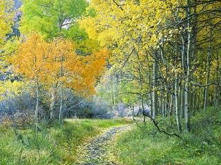 обои Тропинка у берез с пожелтевшими листьями фото