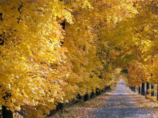 обои Желтые клены вдоль дороги фото