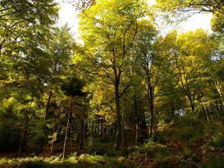 обои Лес и деревья со светло зелеными листьями фото