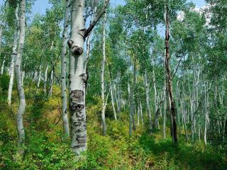обои Светлый березовый лес на склоне фото