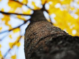 обои Ствол осеннего дерева с желтой кроной фото