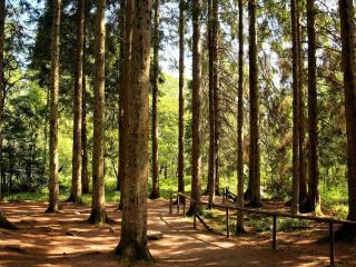 обои Тропинка с оградкой в лесу сосновом фото