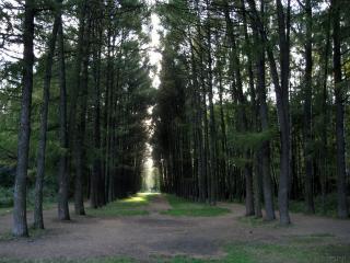 обои Ровные ряды деревьев в парке фото