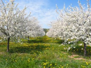 обои Ровные ряды весеннего цветущего сaда фото