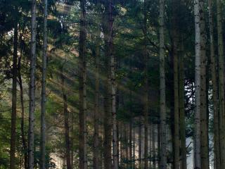 обои Ровные стволы деревьев и лучи солнца сквозь ветки фото
