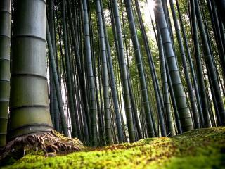 обои Большие бамбуковые деревья фото