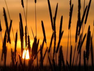 обои Заходящее солнце сквозь колоски травы фото