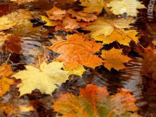 обои Кленовые опавшие листья в воде фото