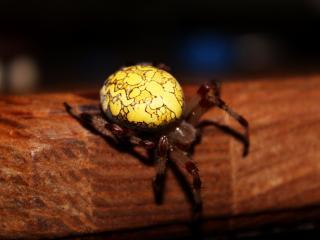 обои Желтый паук крестоносец фото