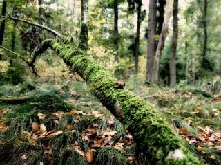 обои Упавшее дерево покрытое мхом в лесу фото