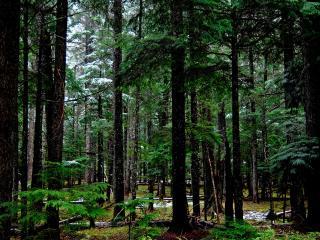 обои Сосновые деревья в лесу фото