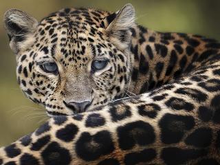 обои Строгий леопард фото