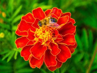 обои Пчела на бархатце фото