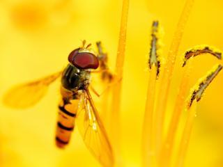 обои Пчела на тычинках цветка желтого фото