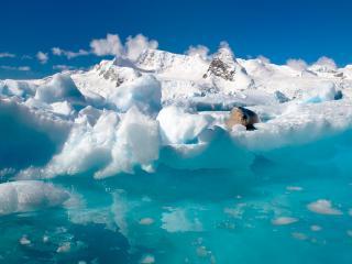 обои Морж на леднике фото