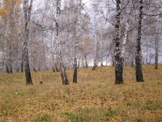 обои Осенняя березовая роща фото
