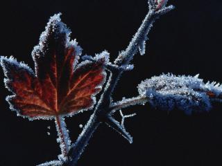 обои Замерзший листок клена фото