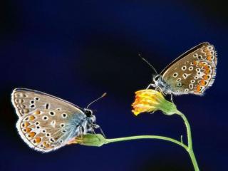 обои Две бабочки фото