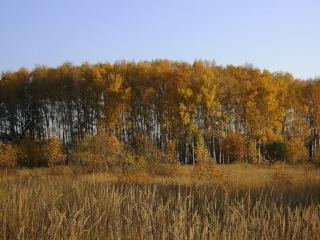 обои Берёзовая осень фото