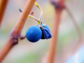 обои для рабочего стола: Засохший виноград