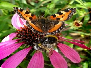 обои Бабочка и шмель фото