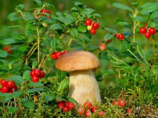 обои Брусника и гриб фото