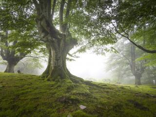 обои Сказочная туманная мгла английских лесов фото