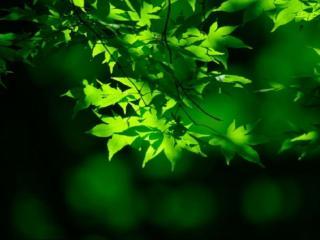обои Молодые листья лета фото