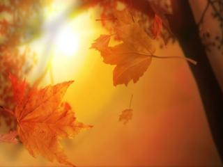 обои Кленовые листья осени фото