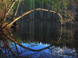 обои Лесное зазеркалье в весеннем пруду фото