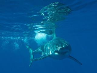 обои Акула в голубой воде фото