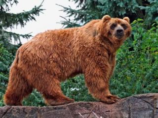 обои Большой бурый медведь фото