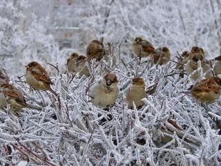 обои Воробьишки и мороз фото