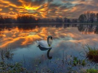 обои Окольцованный лебедь фото