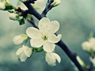 обои Яблоня цветет фото