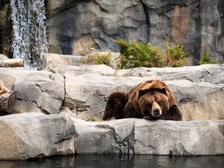 обои Бурый медведь у водоема фото