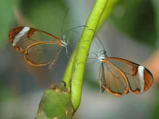 обои Бабочки с прозрачными крыльями фото