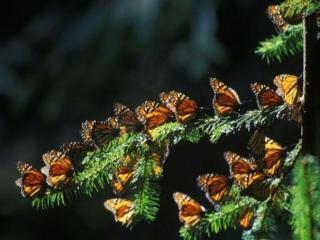 обои Бабочки на ёлочке фото