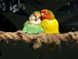 обои Попугайчики неразлучники фото