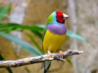 обои Птичка цвета радуги фото