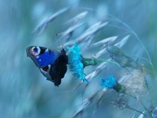 обои Синяя бабочка на голубом цветке фото