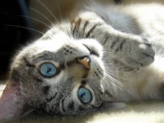 обои Голубоглазый котенок фото