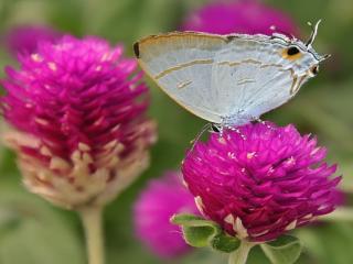 обои Бабочка на фиолетовом цветке фото