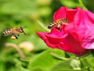 обои Пчёлки любят розы фото