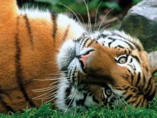 обои Качается на травке тигр фото