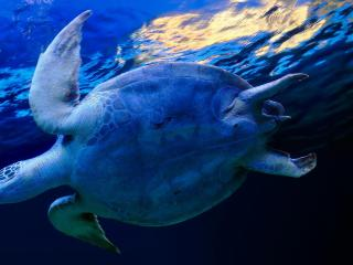 обои Плывет черепаха в морских водах фото