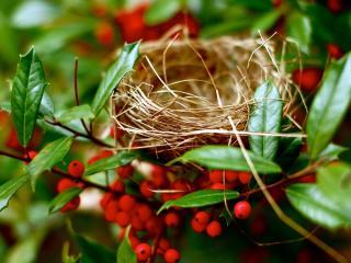 обои Гнездо на ветках с красными плодами фото